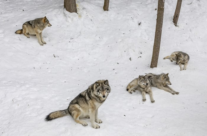 wolf-pack